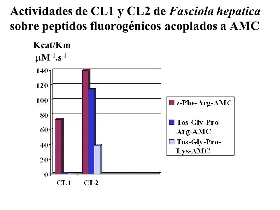 Actividades de CL1 y CL2 de Fasciola hepatica sobre peptidos fluorogénicos acoplados a AMC Kcat/Km M -1.s -1