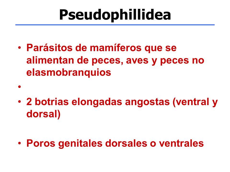 Pseudophillidea Parásitos de mamíferos que se alimentan de peces, aves y peces no elasmobranquios 2 botrias elongadas angostas (ventral y dorsal) Poro