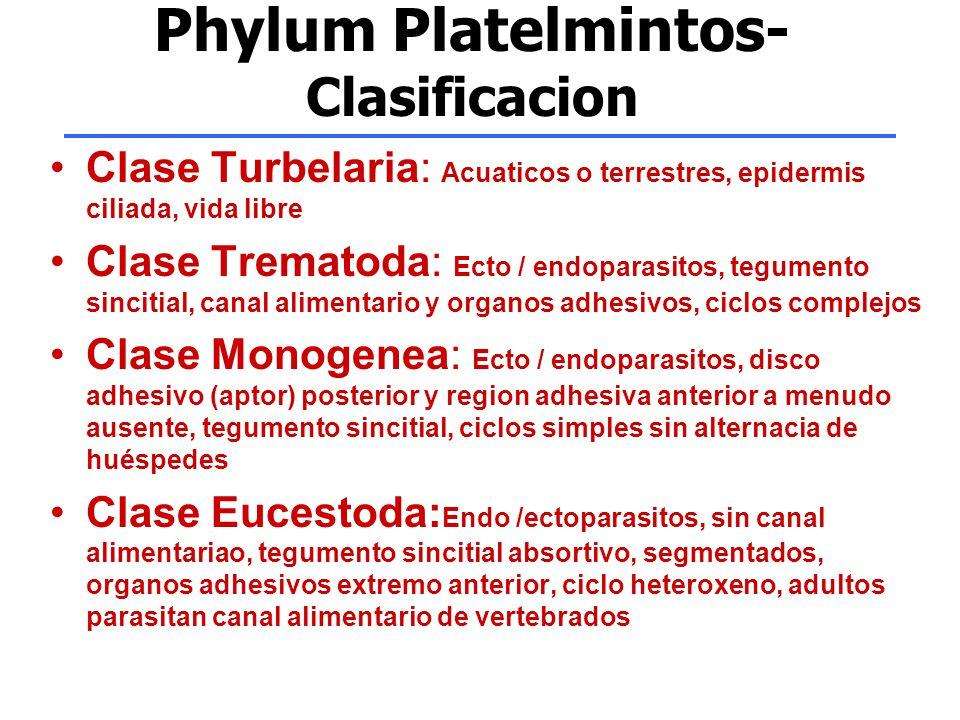 Phylum Platelmintos- Clasificacion Clase Turbelaria: Acuaticos o terrestres, epidermis ciliada, vida libre Clase Trematoda: Ecto / endoparasitos, tegu