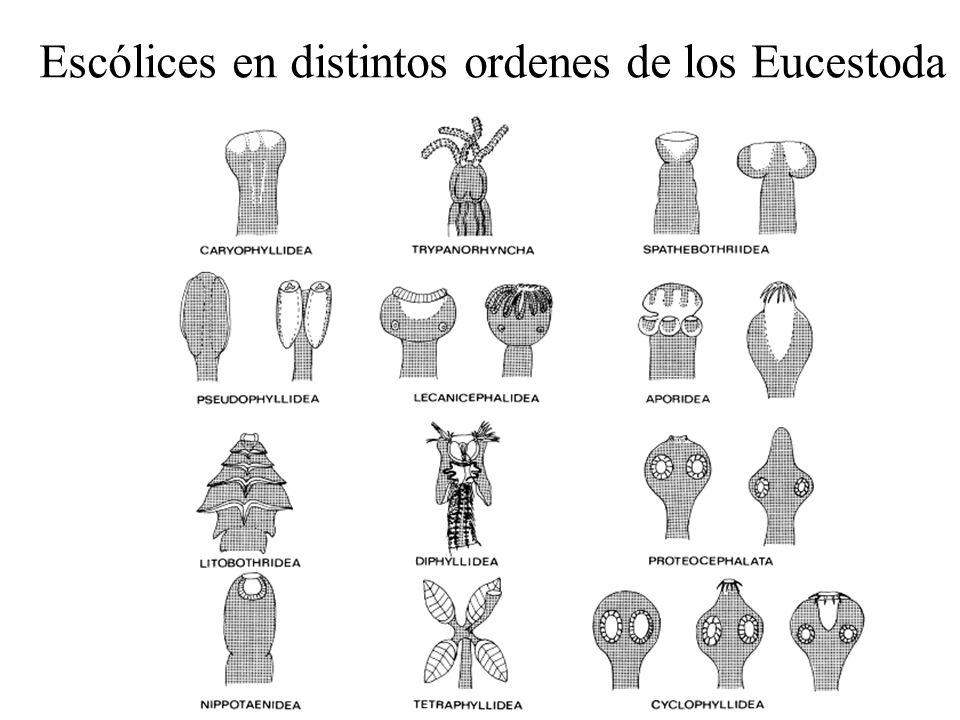 Escólices en distintos ordenes de los Eucestoda