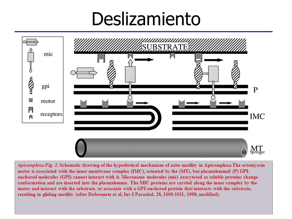 Deslizamiento Apicomplexa·Fig. 2. Schematic drawing of the hypothetical mechanism of zoite motility in Apicomplexa.The actomyosin motor is associated