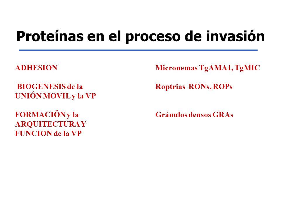 Proteínas en el proceso de invasión ADHESION Micronemas TgAMA1, TgMIC BIOGENESIS de la Roptrias RONs, ROPs UNIÓN MOVIL y la VP FORMACIÖN y la Gránulos