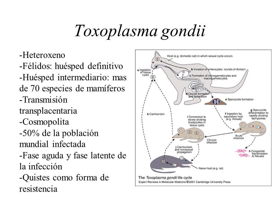 Toxoplasma gondii -Heteroxeno -Félidos: huésped definitivo -Huésped intermediario: mas de 70 especies de mamíferos -Transmisión transplacentaria -Cosm