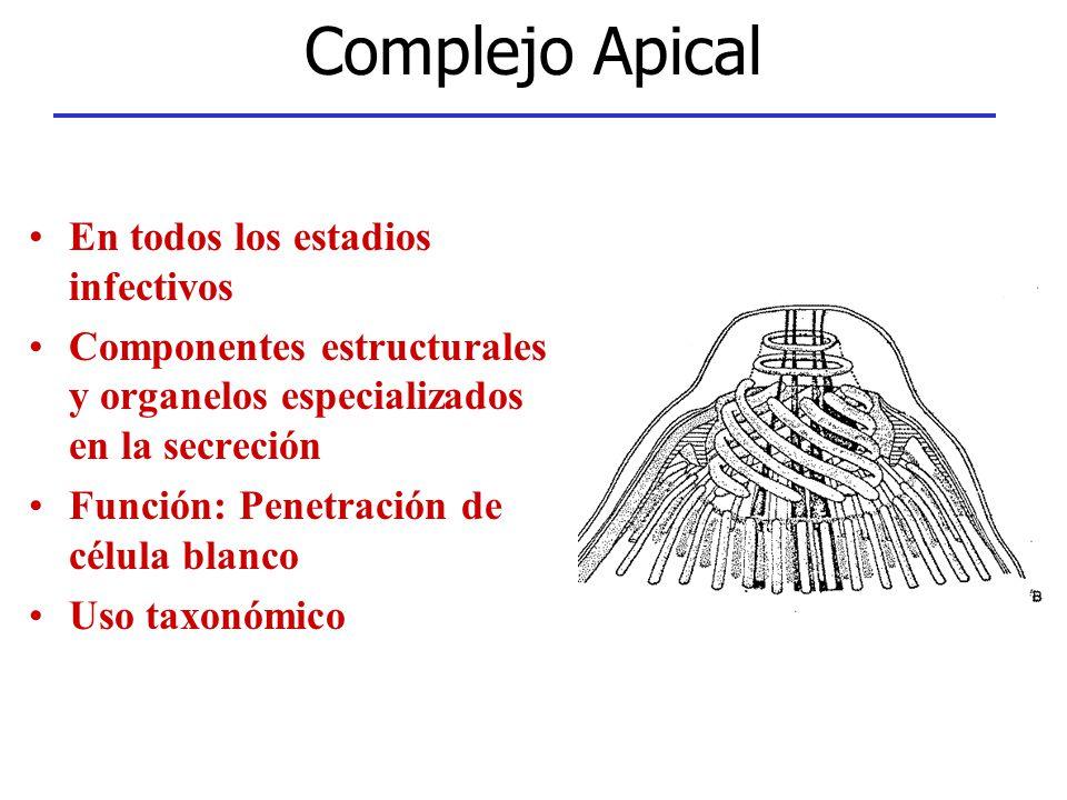 Complejo Apical En todos los estadios infectivos Componentes estructurales y organelos especializados en la secreción Función: Penetración de célula b