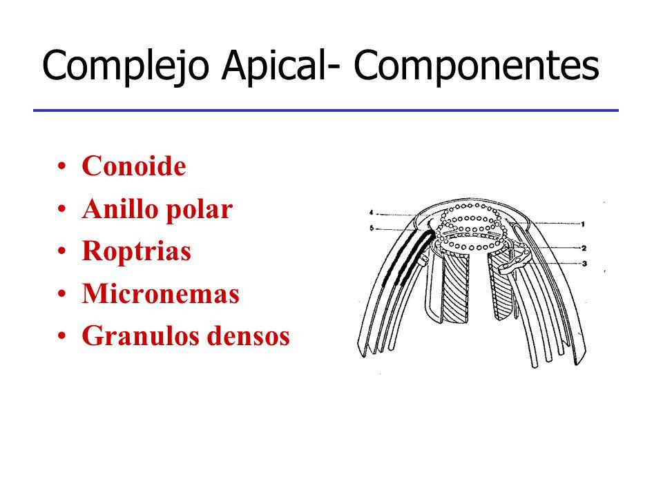 Complejo Apical- Componentes Conoide Anillo polar Roptrias Micronemas Granulos densos
