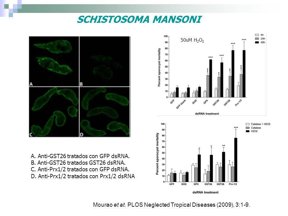 SCHISTOSOMA MANSONI A. Anti-GST26 tratados con GFP dsRNA. B. Anti-GST26 tratados GST26 dsRNA. C. Anti-Prx1/2 tratados con GFP dsRNA. D. Anti-Prx1/2 tr
