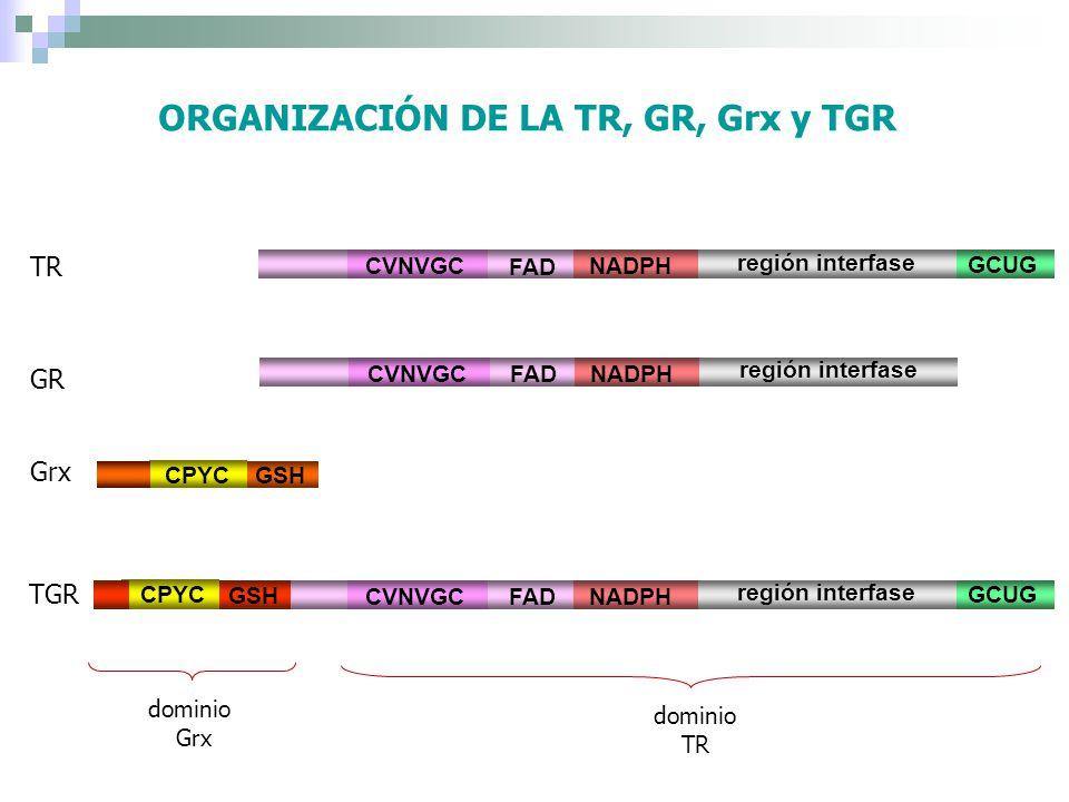 ORGANIZACIÓN DE LA TR, GR, Grx y TGR TR CVNVGC FAD NADPH región interfase GCUG Grx CPYC GSH dominio Grx dominio TR CVNVGC FAD NADPH región interfase G
