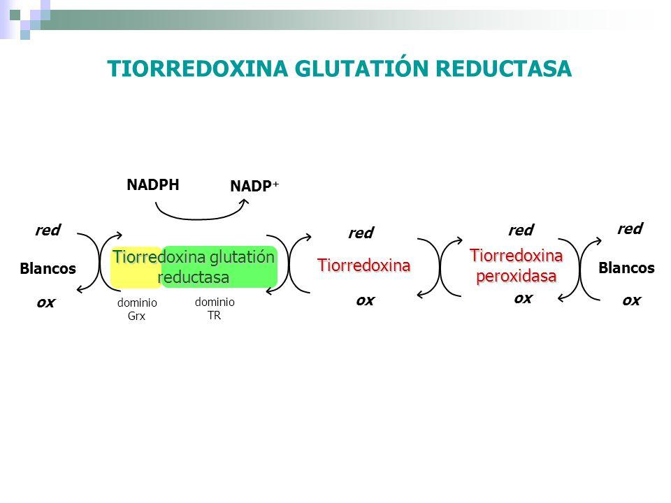 TIORREDOXINA GLUTATIÓN REDUCTASA Tiorredoxina glutatión reductasa Tiorredoxina red ox NADPH NADP + Blancos red ox Tiorredoxina peroxidasa Blancos red