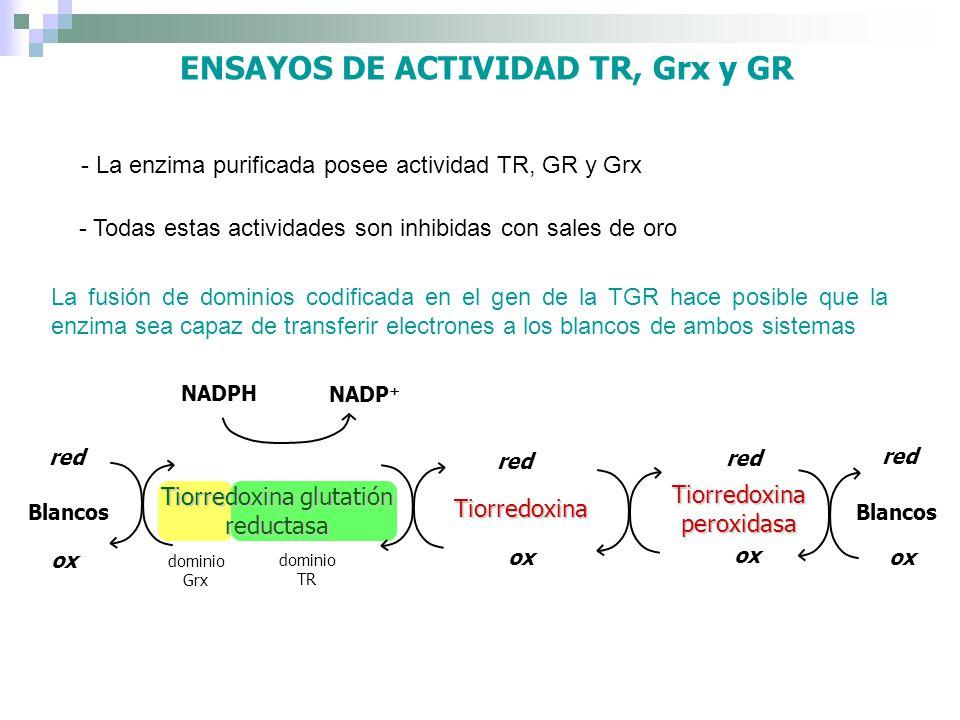 - La enzima purificada posee actividad TR, GR y Grx La fusión de dominios codificada en el gen de la TGR hace posible que la enzima sea capaz de trans