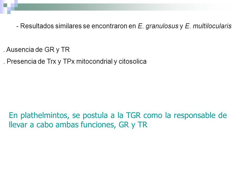 - Resultados similares se encontraron en E. granulosus y E. multilocularis. Ausencia de GR y TR. Presencia de Trx y TPx mitocondrial y citosolica En p