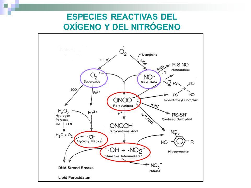 DAÑO CELULAR Daños en el DNA Ribosilación de poly ADP Alteración de la expresión genética Ruptura de ATP y NAD(P)(H) Bases de schiff AGEs (Advanced glycation end products) Lipoperoxidación Daños en las en lasmembranas Oxidación de grupos tioles Formación de grupos carbonilos Daños a los sistemas transportadores ionicos Inestabilidad para mantener gradientes iónicos normales Activación/Desactivación de varios sistemas enzimáticos BLANCOS DE LAS EROs LIPIDOS PROTEÍNAS ADN CARBOHIDRATOS LIPIDOS PROTEÍNAS ADN CARBOHIDRATOS