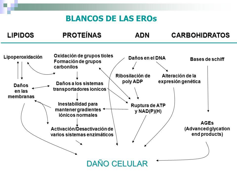 DAÑO CELULAR Daños en el DNA Ribosilación de poly ADP Alteración de la expresión genética Ruptura de ATP y NAD(P)(H) Bases de schiff AGEs (Advanced gl