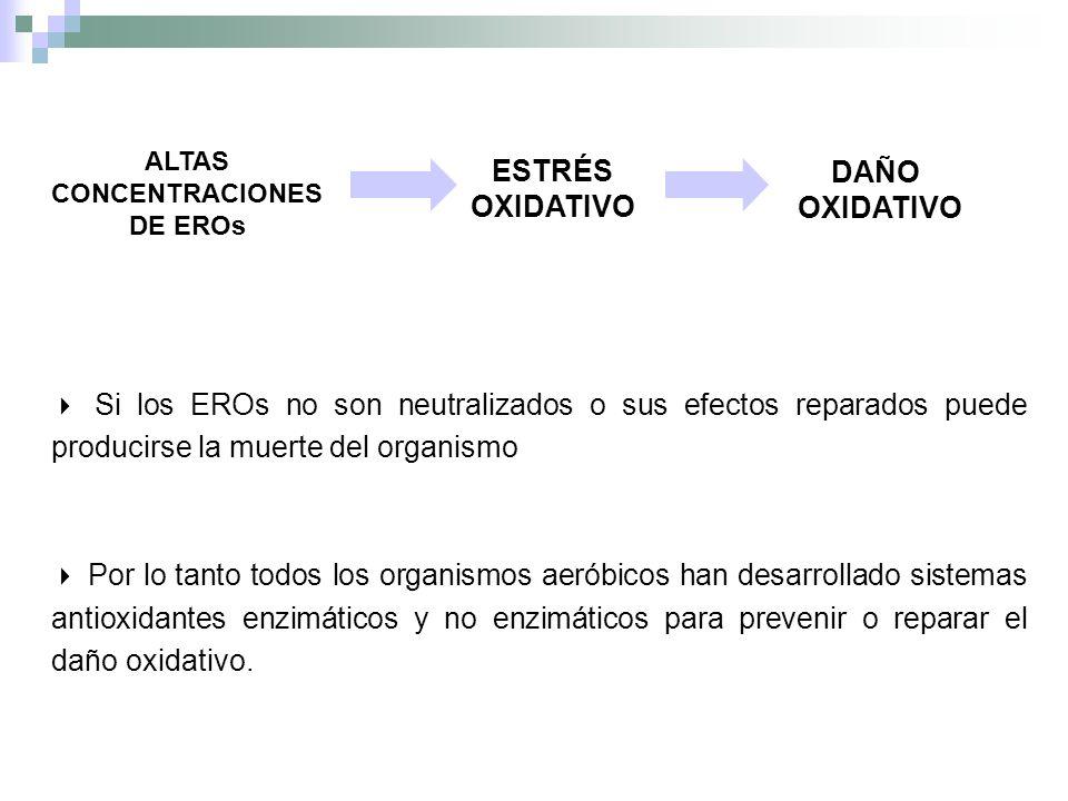 Si los EROs no son neutralizados o sus efectos reparados puede producirse la muerte del organismo Por lo tanto todos los organismos aeróbicos han desa