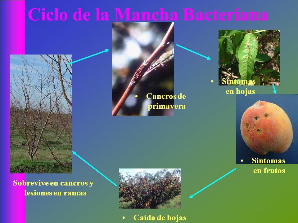 Ciclo de la Mancha Bacteriana Cancros de primavera Caída de hojas Sobrevive en cancros y lesiones en ramas Síntomas en hojas Síntomas en frutos