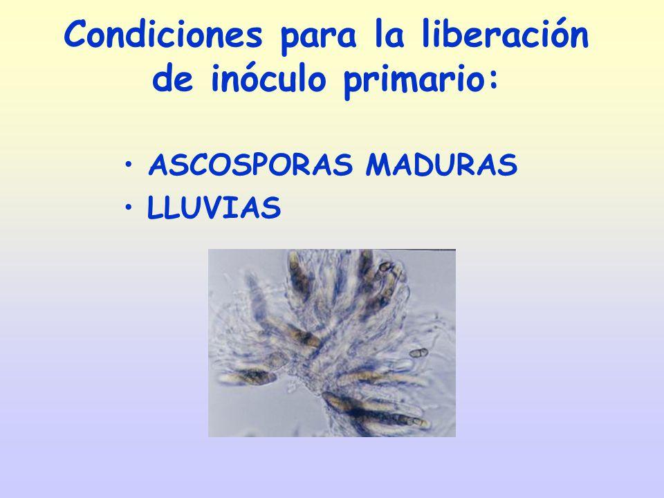 Condiciones para la liberación de inóculo primario: ASCOSPORAS MADURAS LLUVIAS