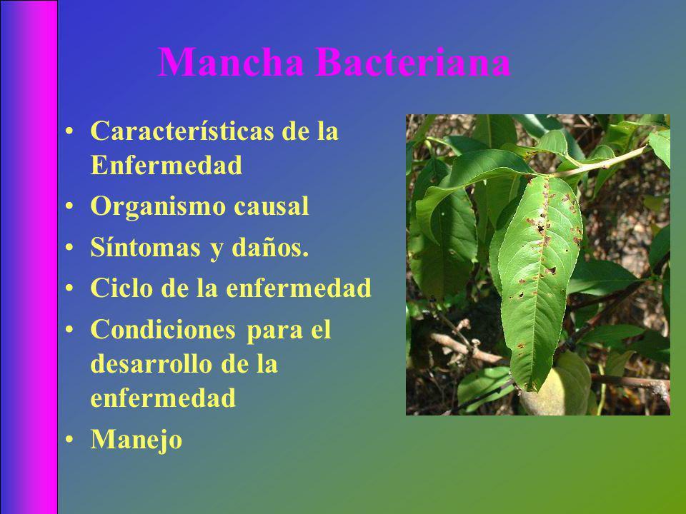 Mancha Bacteriana Características de la Enfermedad Organismo causal Síntomas y daños.