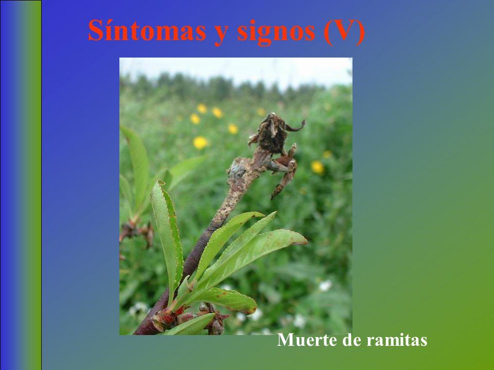Síntomas y signos (V) Muerte de ramitas