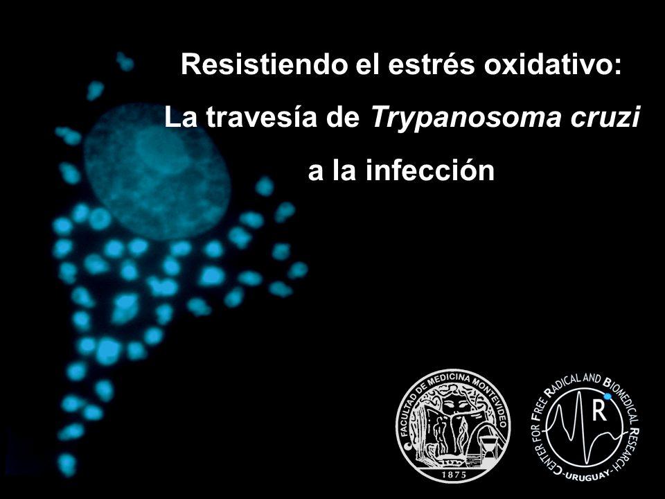 NADPH NADP + TR ox TR red T(SH) 2 TS 2 TXN ox TXN red TcCPX Red TcCPX Ox ONOOH NO 2 - Las peroxiredoxinas de Trypanosoma cruzi tienen actividad peroxinitrito-oxidoreductasa in vitro TR = tripanotiona reductasa T(SH) 2 = tripanotiona TXN = triparedoxina TcCPX= triparedoxina peroxidasa citosólica 10 6 M -1 s -1 (10 3 M -1 s -1 ) Trujillo et al, 2004