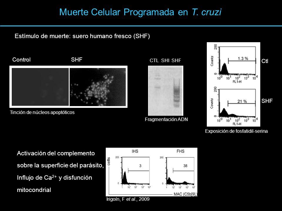 Muerte Celular Programada en T. cruzi Activación del complemento sobre la superficie del parásito, Influjo de Ca 2+ y disfunción mitocondrial Irigoín,
