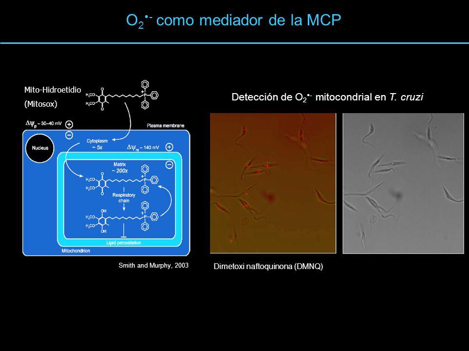 O 2 - como mediador de la MCP Smith and Murphy, 2003 HE Mito-Hidroetidio (Mitosox) Detección de O 2 - mitocondrial en T. cruzi Dimetoxi naftoquinona (