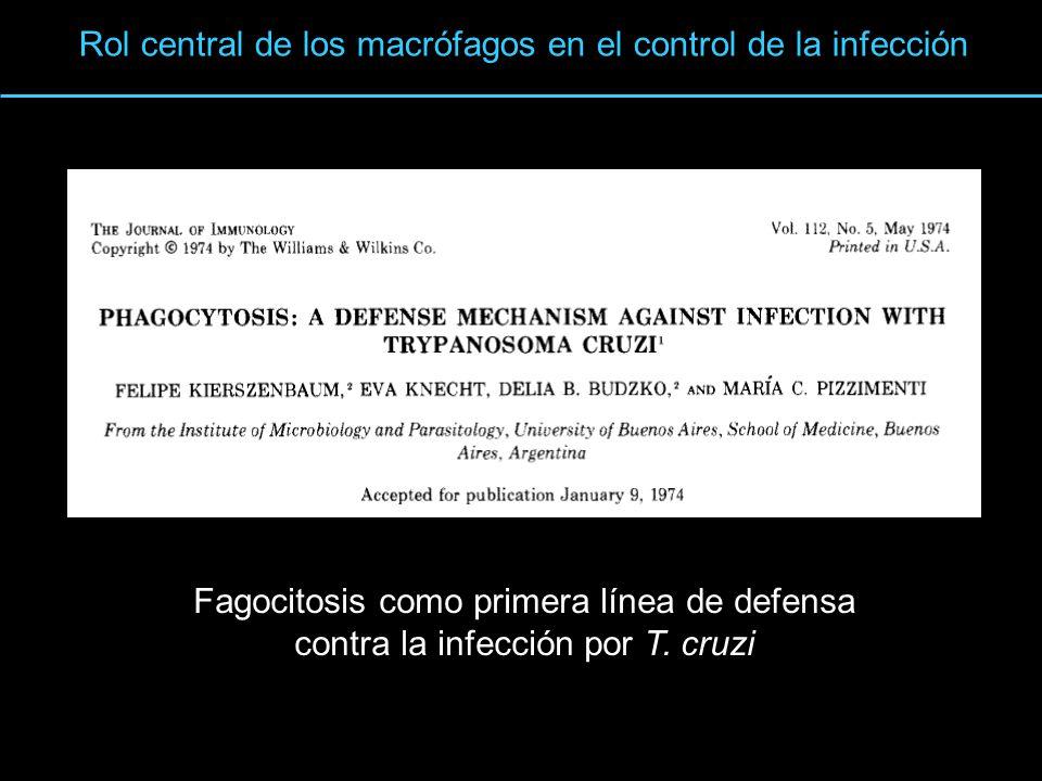 Villalta et al, 1984 8 min Interacciones Macrófagos - T cruzi Rápida activación de la NADPH oxidasa durante la fagocitosis 2 O 2 + NADPH 2 O 2 – + NADP + + H + Alvarez, MN et al, 2007