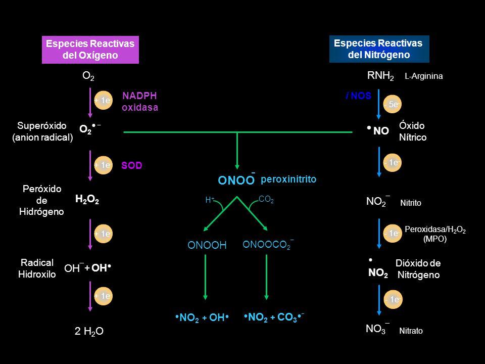 NO Óxido Nítrico NO 2 ¯ Nitrito Dióxido de Nitrógeno NO 2 NO 3 ¯ Nitrato RNH 2 L-Arginina - 1e - i NOS Especies Reactivas del Nitrógeno Peroxidasa/H 2