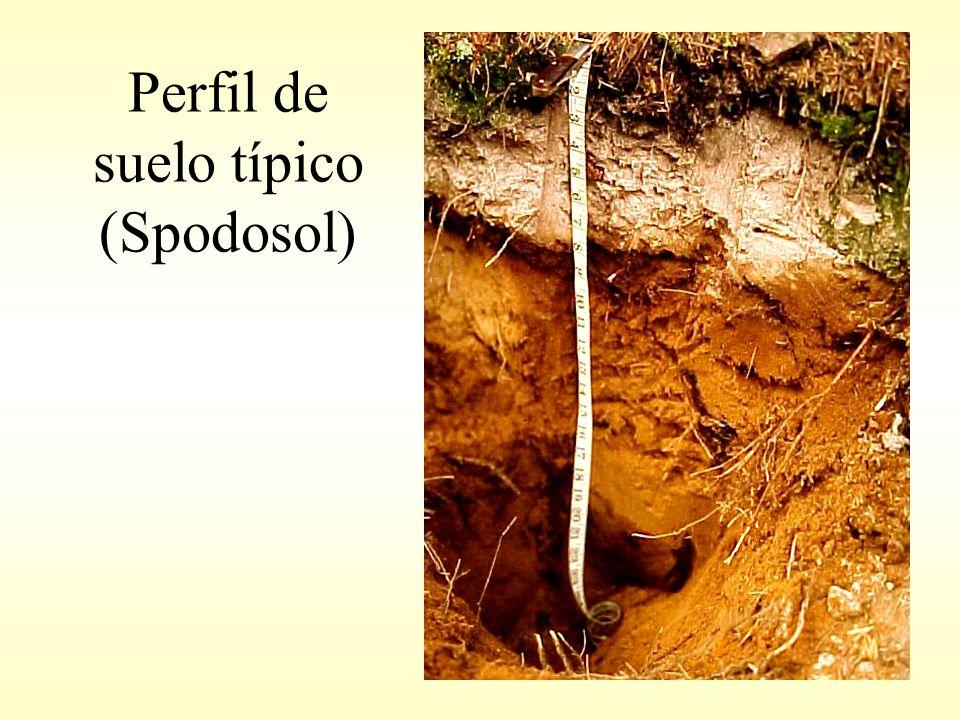 Perfil de suelo típico (Spodosol)