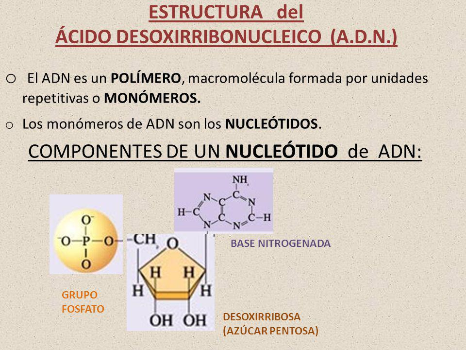 ESTRUCTURA del ÁCIDO DESOXIRRIBONUCLEICO (A.D.N.) o El ADN es un POLÍMERO, macromolécula formada por unidades repetitivas o MONÓMEROS. o Los monómeros