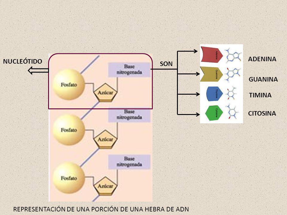 ¿CÓMO SE DISPONEN LOS NUCLEÓTIDOS EN UNA MOLÉCULA DE ADN.