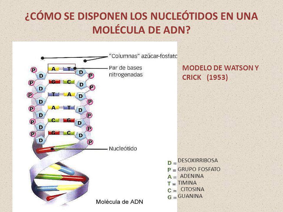 ¿CÓMO SE DISPONEN LOS NUCLEÓTIDOS EN UNA MOLÉCULA DE ADN? DESOXIRRIBOSA GRUPO FOSFATO ADENINA TIMINA CITOSINA GUANINA MODELO DE WATSON Y CRICK (1953)