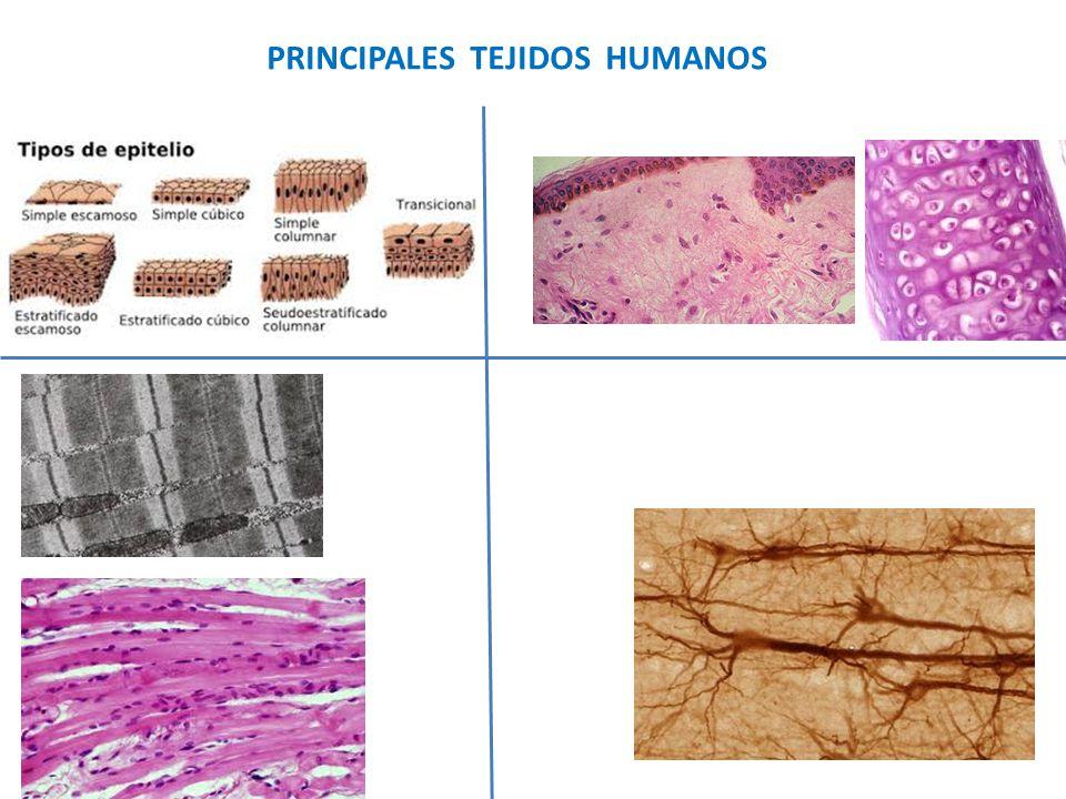PRINCIPALES TEJIDOS HUMANOS