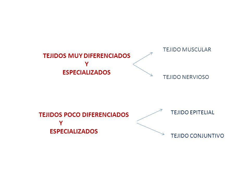 TEJIDOS MUY DIFERENCIADOS Y ESPECIALIZADOS TEJIDO MUSCULAR TEJIDO NERVIOSO TEJIDOS POCO DIFERENCIADOS Y ESPECIALIZADOS TEJIDO EPITELIAL TEJIDO CONJUNT