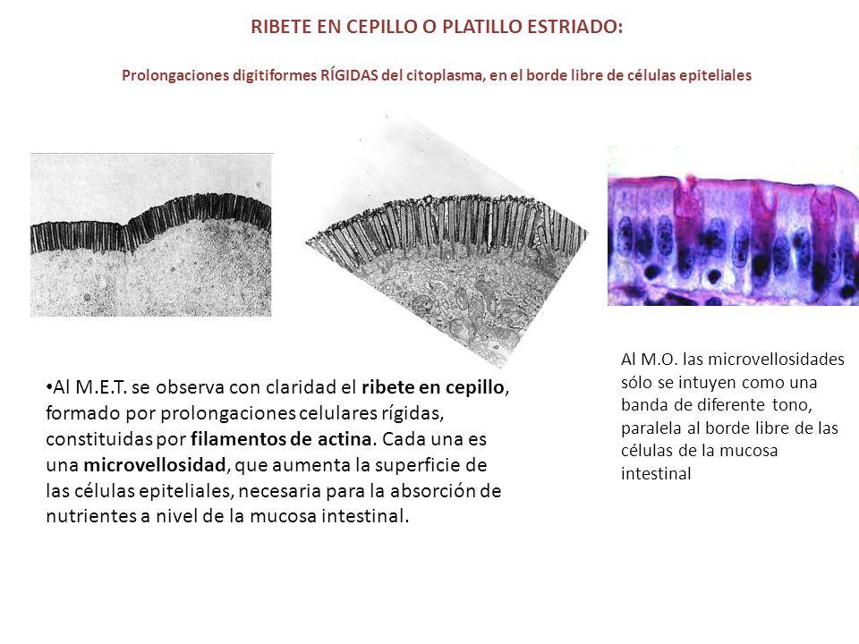 RIBETE EN CEPILLO O PLATILLO ESTRIADO: Prolongaciones digitiformes RÍGIDAS del citoplasma, en el borde libre de células epiteliales Al M.E.T. se obser