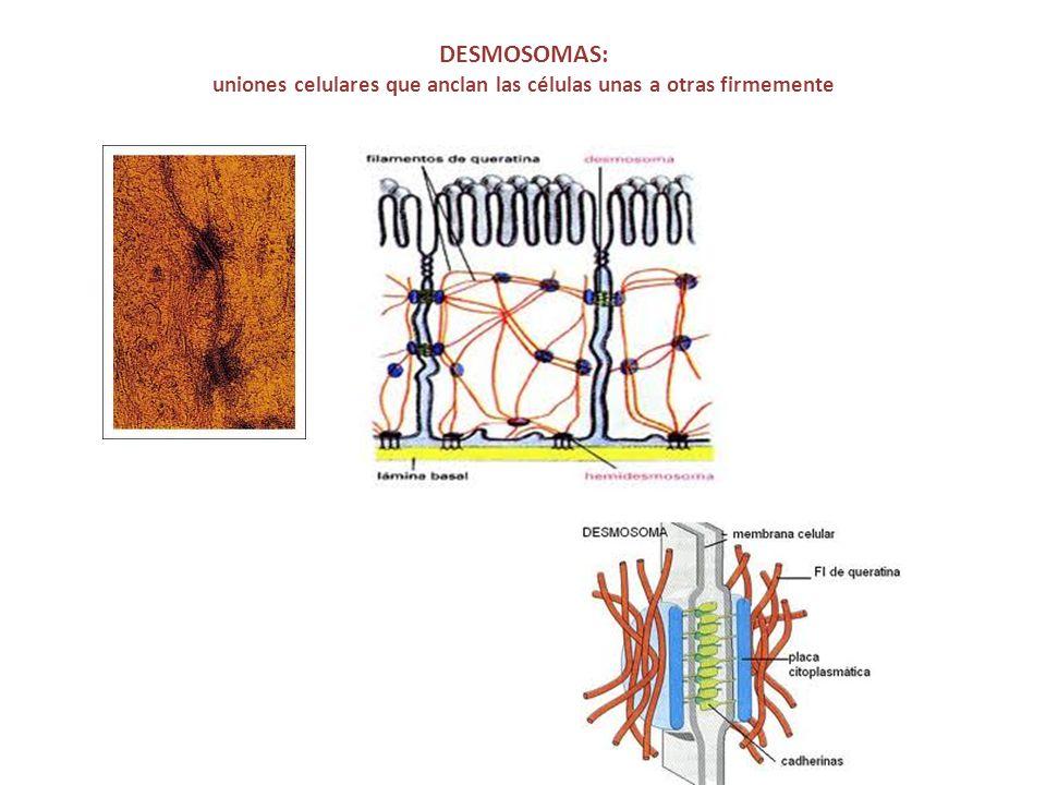 DESMOSOMAS: uniones celulares que anclan las células unas a otras firmemente