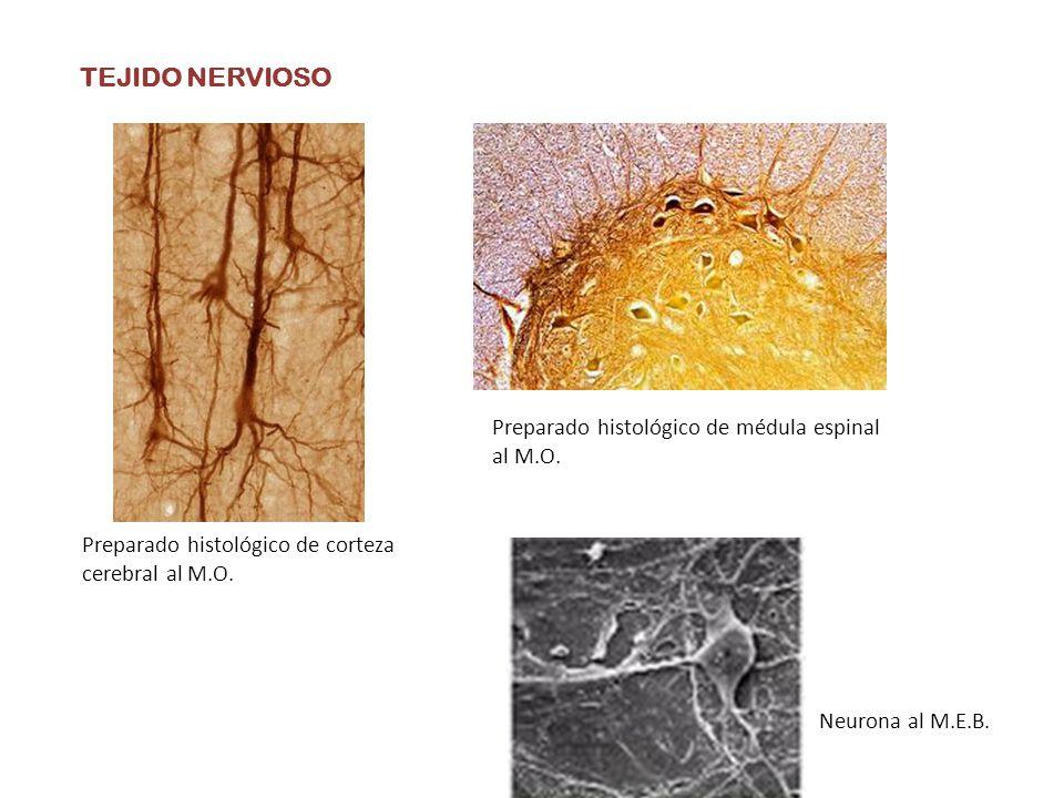 TEJIDO NERVIOSO Preparado histológico de corteza cerebral al M.O. Neurona al M.E.B. Preparado histológico de médula espinal al M.O.