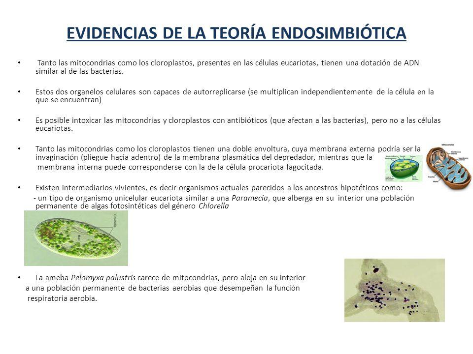 EVIDENCIAS DE LA TEORÍA ENDOSIMBIÓTICA Tanto las mitocondrias como los cloroplastos, presentes en las células eucariotas, tienen una dotación de ADN similar al de las bacterias.