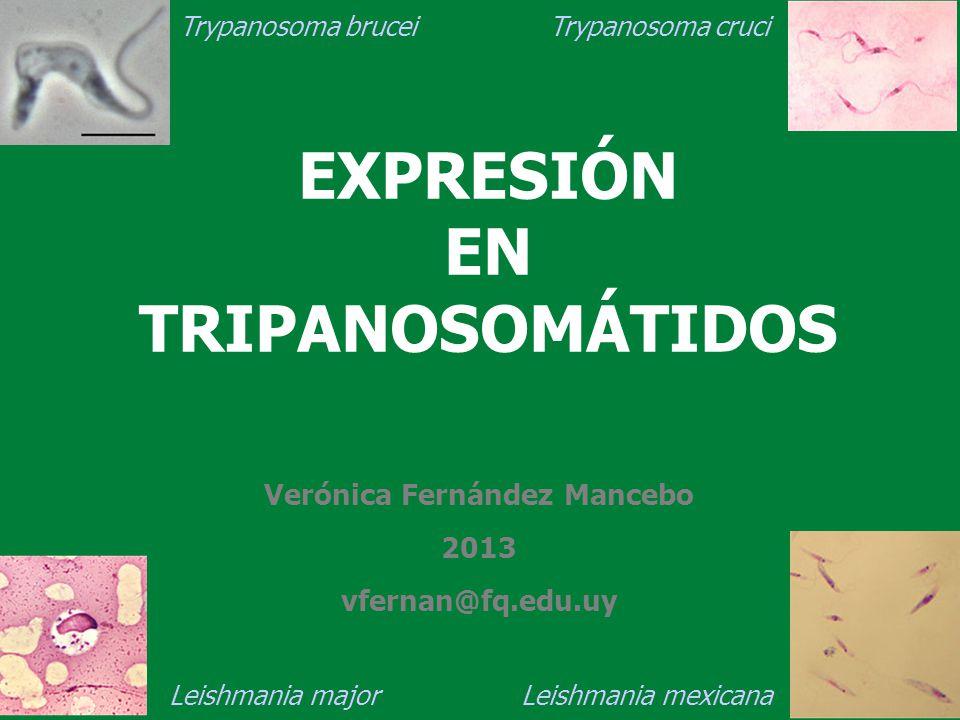 EXPRESIÓN EN TRIPANOSOMÁTIDOS Verónica Fernández Mancebo 2013 vfernan@fq.edu.uy Trypanosoma brucei Trypanosoma cruci Leishmania major Leishmania mexic