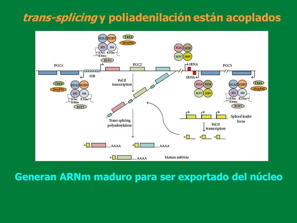 trans-splicing y poliadenilación están acoplados Generan ARNm maduro para ser exportado del núcleo