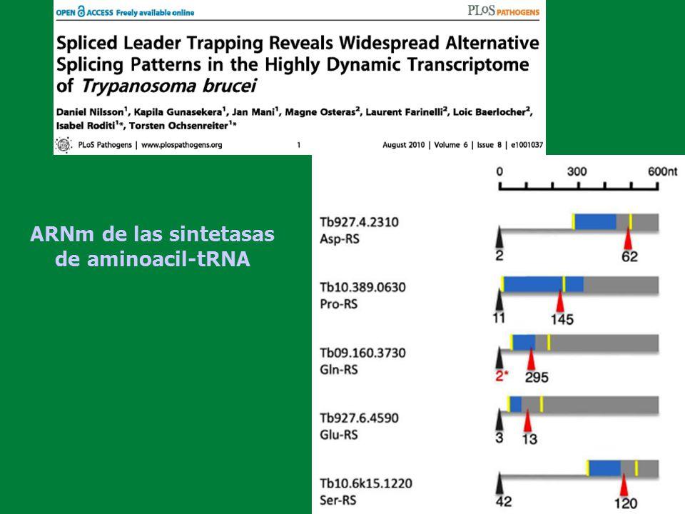 ARNm de las sintetasas de aminoacil-tRNA