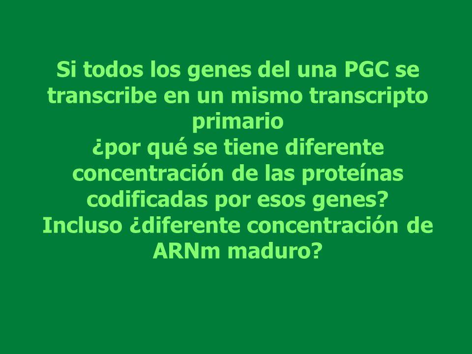 Si todos los genes del una PGC se transcribe en un mismo transcripto primario ¿por qué se tiene diferente concentración de las proteínas codificadas p