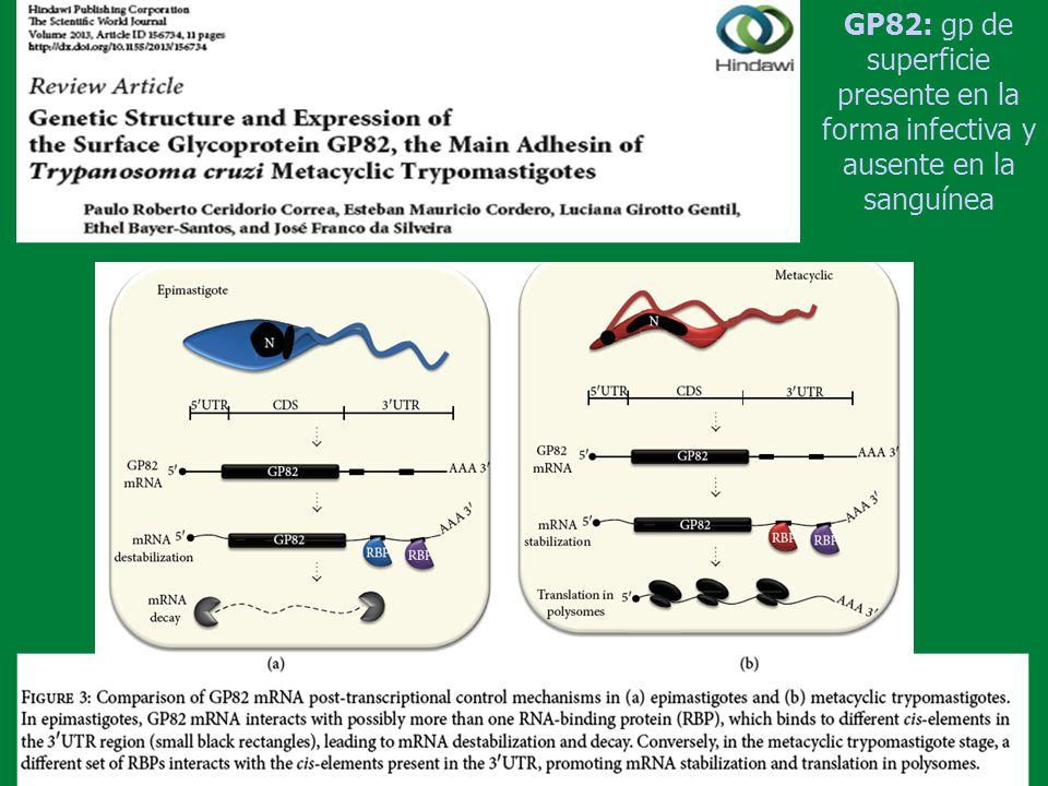 GP82: gp de superficie presente en la forma infectiva y ausente en la sanguínea
