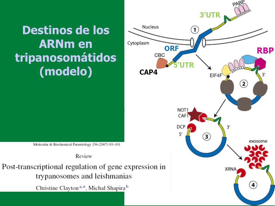 Destinos de los ARNm en tripanosomátidos (modelo) ORF 3UTR 5UTR CAP4 RBP