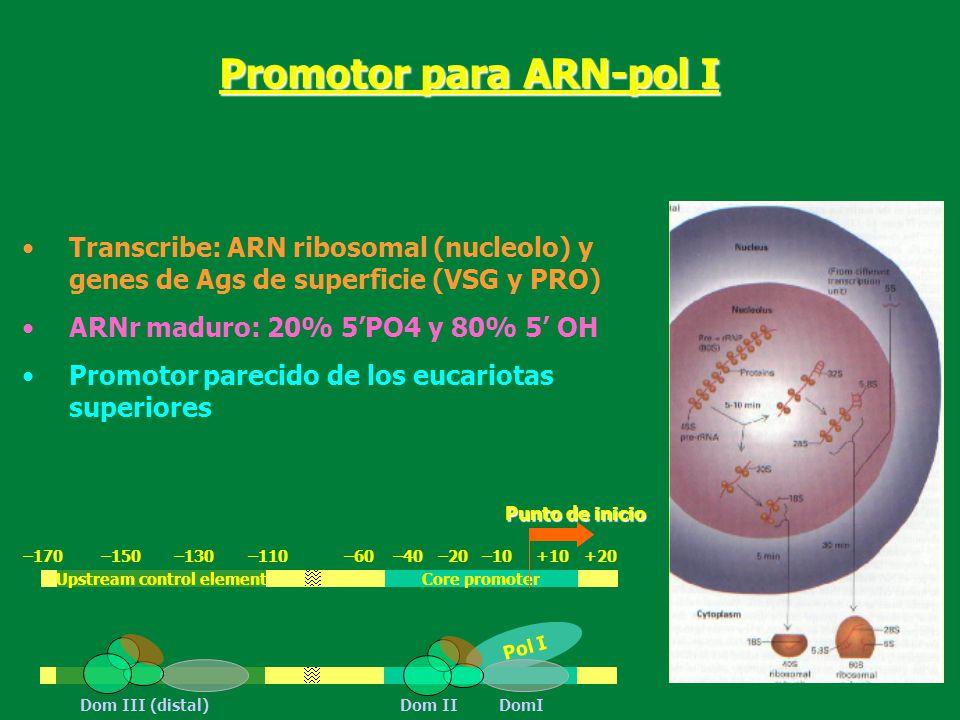 Transcribe: ARN ribosomal (nucleolo) y genes de Ags de superficie (VSG y PRO) ARNr maduro: 20% 5PO4 y 80% 5 OH Promotor parecido de los eucariotas sup