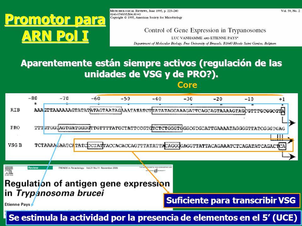 Core Promotor para ARN Pol I Suficiente para transcribir VSG Se estimula la actividad por la presencia de elementos en el 5 (UCE) Aparentemente están