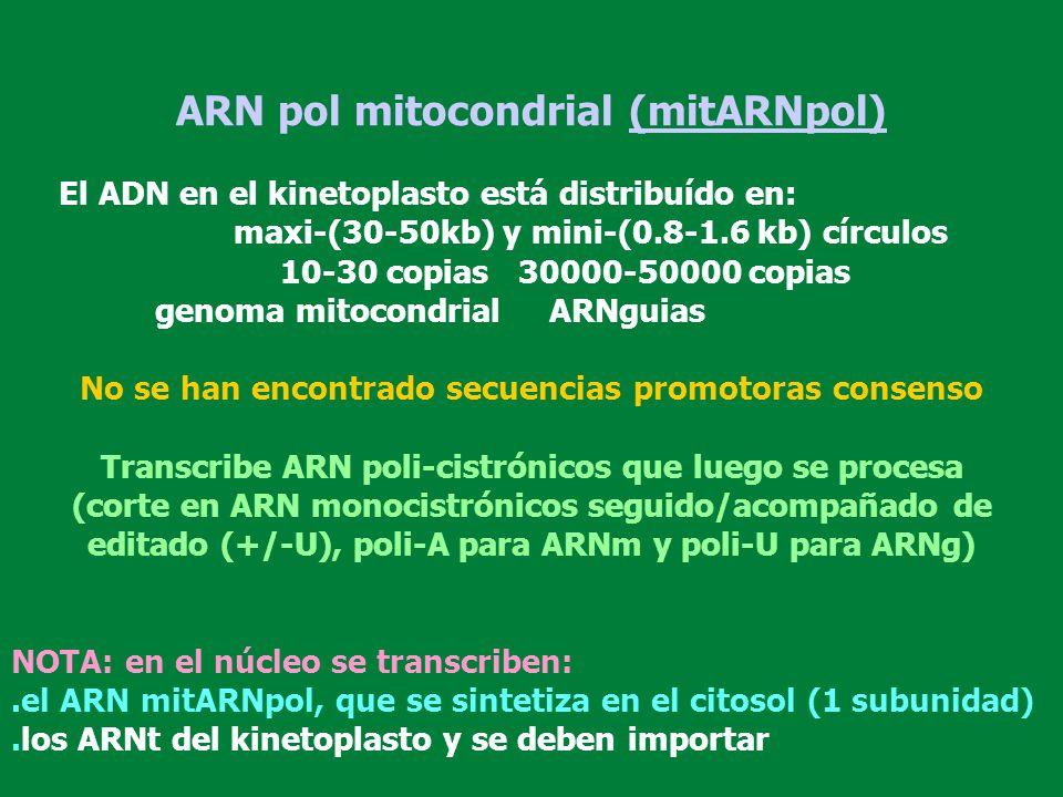 ARN pol mitocondrial (mitARNpol) El ADN en el kinetoplasto está distribuído en: maxi-(30-50kb) y mini-(0.8-1.6 kb) círculos 10-30 copias 30000-50000 c