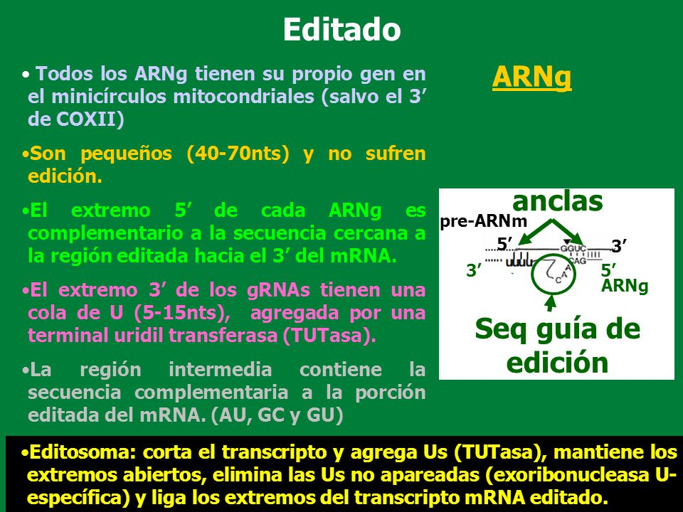 Todos los ARNg tienen su propio gen en el minicírculos mitocondriales (salvo el 3 de COXII) Son pequeños (40-70nts) y no sufren edición. El extremo 5