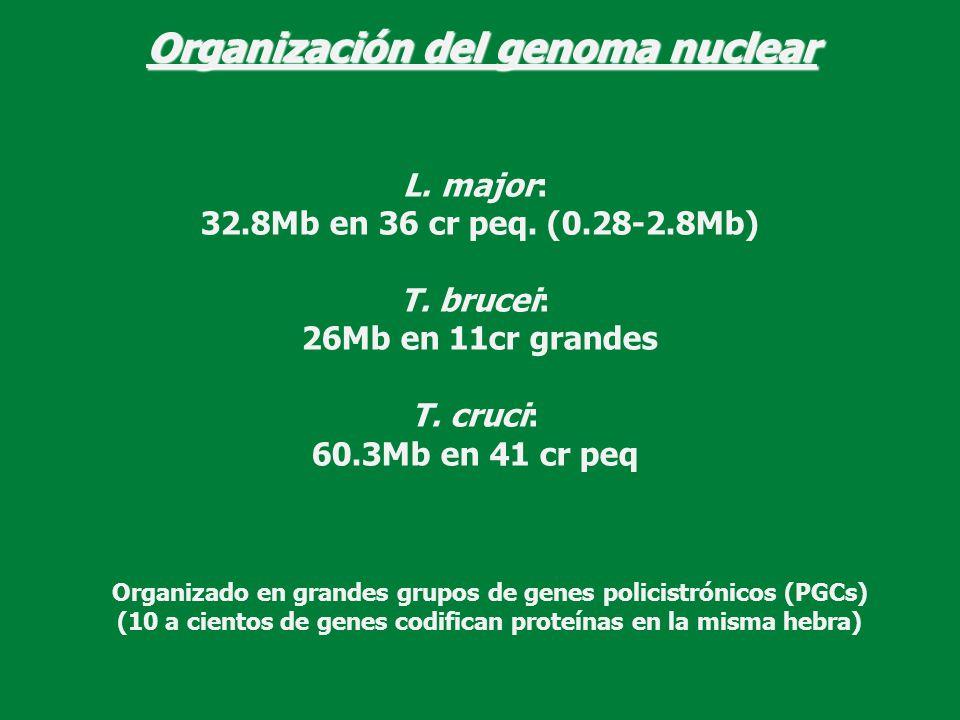 Organización del genoma nuclear L. major: 32.8Mb en 36 cr peq. (0.28-2.8Mb) T. brucei: 26Mb en 11cr grandes T. cruci: 60.3Mb en 41 cr peq Organizado e