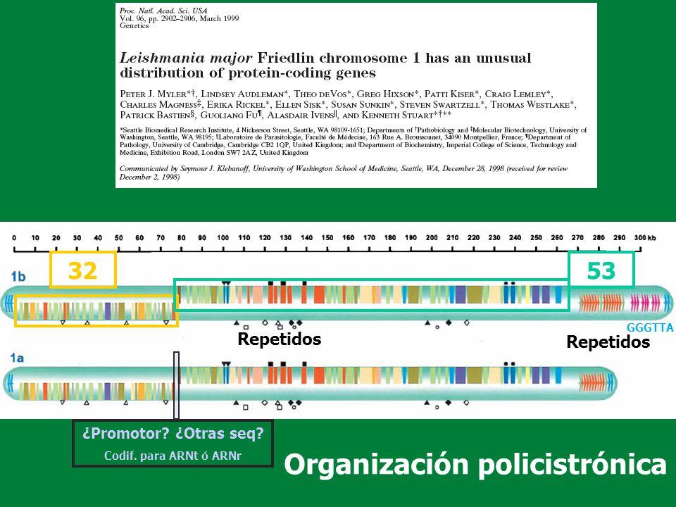 ARN pol mitocondrial (mitARNpol) El ADN en el kinetoplasto está distribuído en: maxi-(30-50kb) y mini-(0.8-1.6 kb) círculos 10-30 copias 30000-50000 copias genoma mitocondrial ARNguias No se han encontrado secuencias promotoras consenso Transcribe ARN poli-cistrónicos que luego se procesa (corte en ARN monocistrónicos seguido/acompañado de editado (+/-U), poli-A para ARNm y poli-U para ARNg) NOTA: en el núcleo se transcriben:.el ARN mitARNpol, que se sintetiza en el citosol (1 subunidad).los ARNt del kinetoplasto y se deben importar