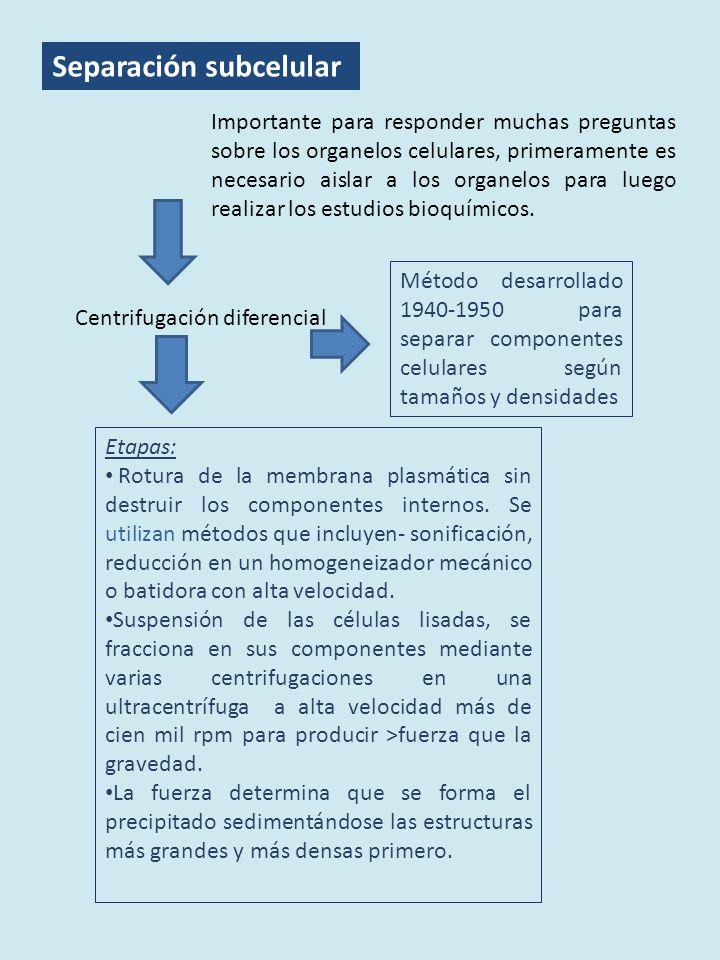 Separación subcelular Importante para responder muchas preguntas sobre los organelos celulares, primeramente es necesario aislar a los organelos para luego realizar los estudios bioquímicos.