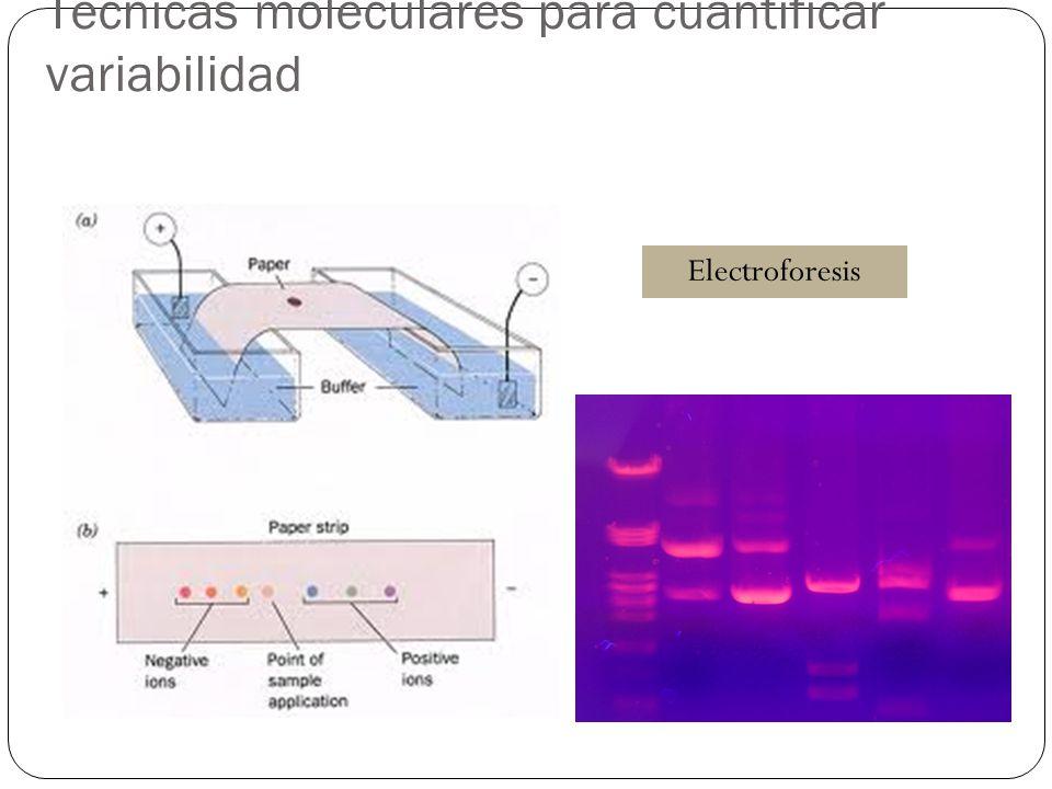 Técnicas moleculares para cuantificar variabilidad Electroforesis